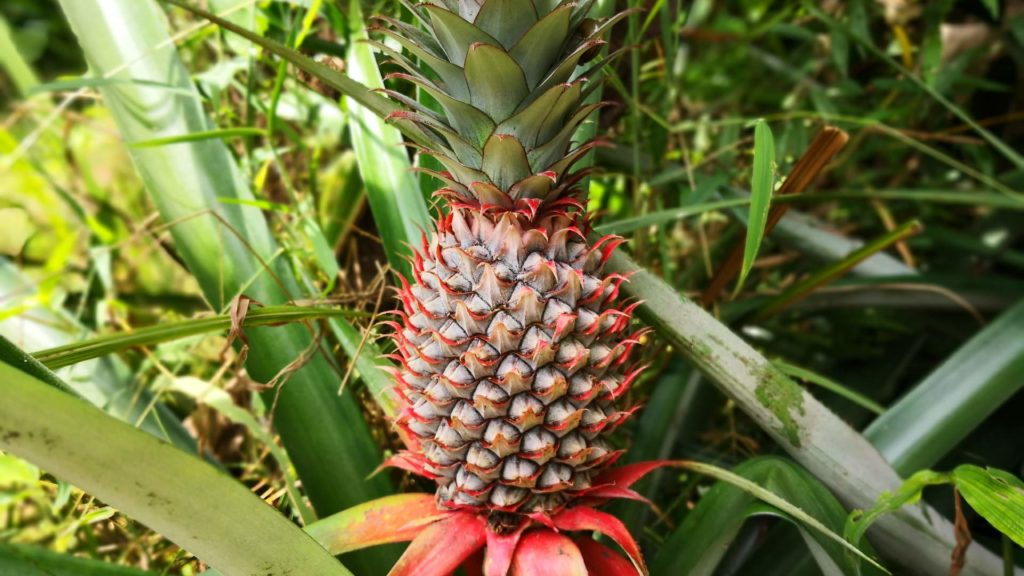 Ananas-Pflanze in Thailand